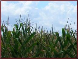 Corn Growing in Field (c)Coskrey Biz